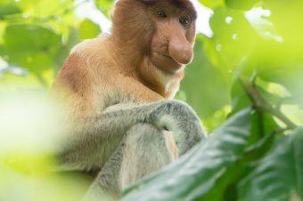 Zobacz Nosacze Sundajskie na Borneo!